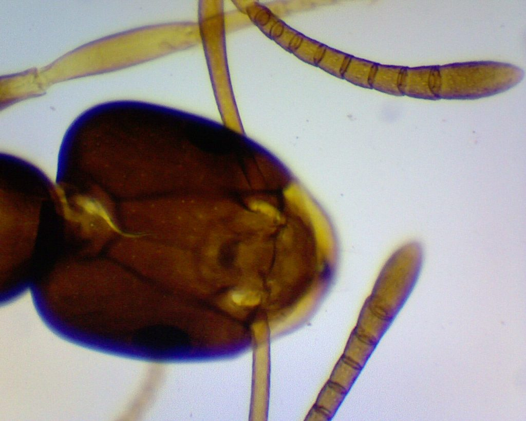 Ameisenkopf